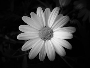 fiori-margherita_NG1